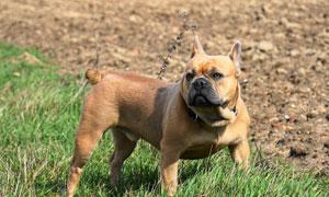 青青草地上的狗狗特写摄影高清图片