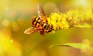 在辛勤采着花蜜的蜜蜂摄影高清图片