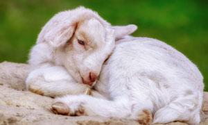 身体蜷缩在一起的小羊摄影高清图片