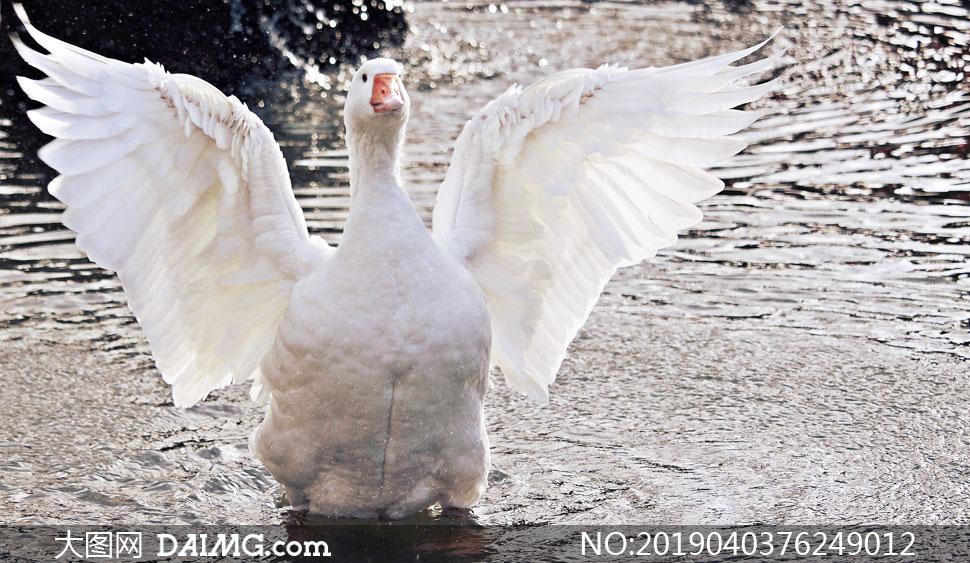 张开了翅膀准备上岸的鸭子高清图片