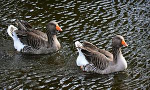 在水中一前一后的鸭子摄影高清图片