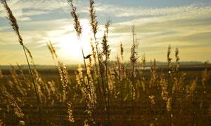 黄昏时的芦苇风景逆光摄影高清图片