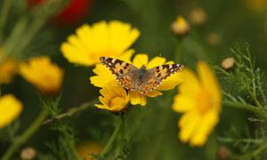 黄色鲜花上的蝴蝶特写摄影高清图片