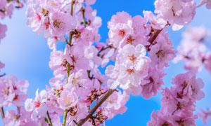 树枝上的浪漫粉色樱花摄影高清图片