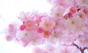 树枝上盛开的朵朵樱花摄影高清图片