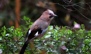 在铁丝网上的小鸟特写摄影高清图片