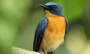 停在树枝上的可爱小鸟摄影高清图片