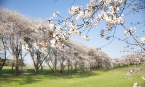 春天公园里盛开的樱花摄影高清图片