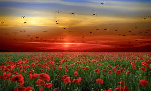旖旎霞光与一望无垠的花海五百万彩票图片