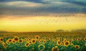 黄昏时的向日葵种植园风光高清图片