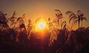 黄昏夕阳照耀下的芦苇摄影高清图片