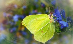 蓝色花朵上的绿色蝴蝶摄影高清图片