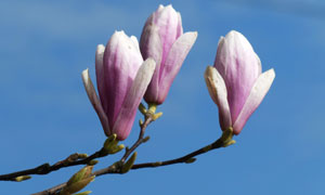 蓝天背景枝头上的花朵摄影高清图片