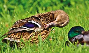 在草地上整理着羽毛的鸭子高清图片