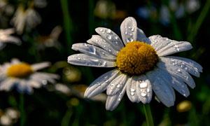 有水珠的雏菊近景特写摄影高清图片