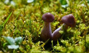 从泥土里钻出来的菌菇摄影高清图片
