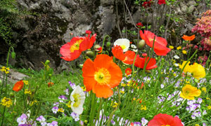 春天开在山石旁的花草摄影五百万彩票图片