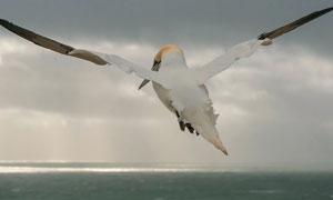 海面上展翅翱翔的海鸥摄影高清图片