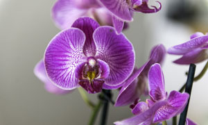 紫颜色的兰花近景特写摄影高清图片