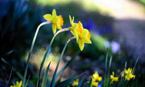脑袋扭向一侧的水仙花摄影高清图片
