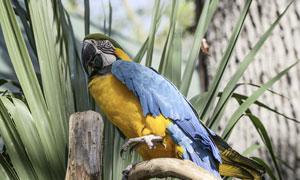 一只蓝羽黄腹鹦鹉特写摄影高清图片