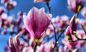 春天枝头上的粉红花朵摄影高清图片