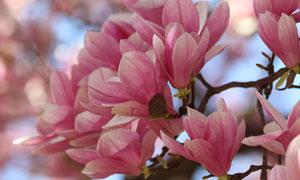 开遍枝头的粉红色花朵摄影高清图片