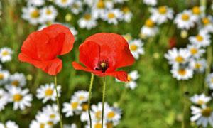 小雏菊与红色的罂粟花摄影高清图片