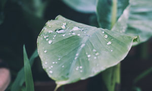 叶面有晶莹水珠的树叶摄影高清图片