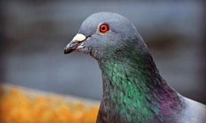 一只红眼睛的鸽子特写摄影高清图片