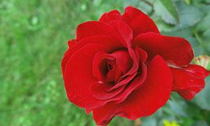 春天红色玫瑰花朵特写摄影五百万彩票图片