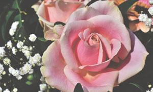 白色小花与粉红色玫瑰摄影五百万彩票图片