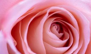 粉红色的花朵特写主题摄影五百万彩票图片
