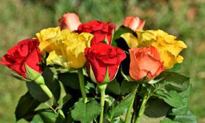 红黄两种颜色的玫瑰花摄影五百万彩票图片