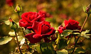 娇艳美丽的红玫瑰花朵摄影五百万彩票图片