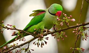 花枝上的绿色鹦鹉特写摄影高清图片