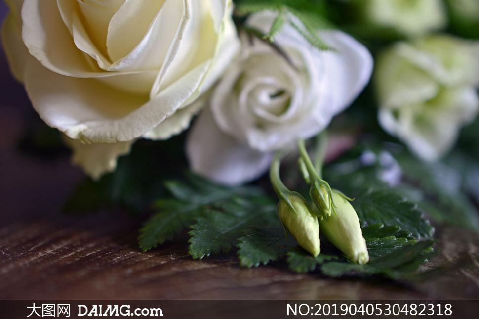 绿叶与白色的玫瑰花朵摄影高清图片