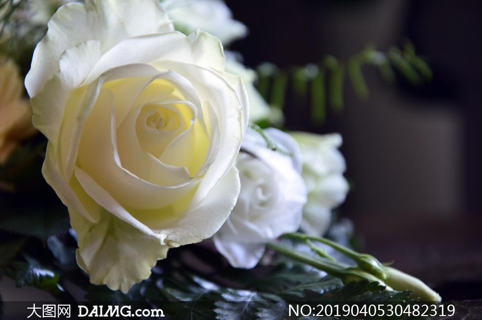 白润如雪的玫瑰花特写摄影高清图片