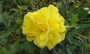 芳香四溢的黄色花特写摄影高清图片