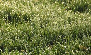 挂着早晨露珠的杂草丛摄影高清图片