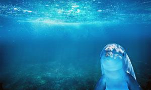 在湛蓝水中猫着的海豚摄影高清图片