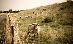 斜坡草地上的吃草羊群摄影高清图片