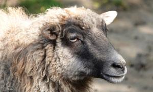 毛发打卷儿的绵羊特写摄影高清图片