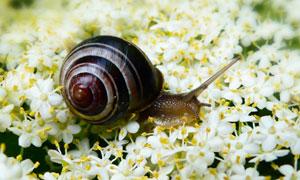 小花上缓慢爬行的蜗牛摄影高清图片