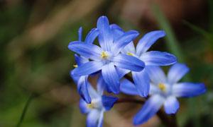 春天野外绽放着的蓝色花朵五百万彩票图片