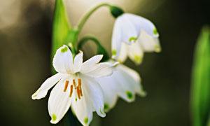 春天花期盛开着的白色花朵高清图片