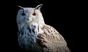 目光专注的猫头鹰特写摄影五百万彩票图片