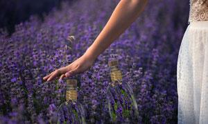 人物手势与紫色薰衣草摄影高清图片