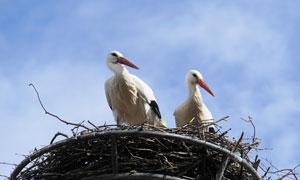 两只在合力筑巢的白鹳摄影高清图片