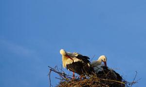 鸟窝里整理羽毛的白鹳摄影高清图片